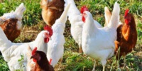 La flambée des prix du poulet résulte d' une baisse significative de l'offre
