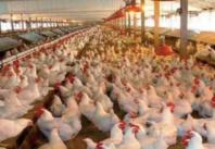 Les prix du poulet risquent de prendre l' ascenseur encore longtemps