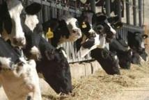 Khénifra : 137.000 quintaux d'aliments pour bétail mis à la disposition des éleveurs