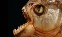 Même le tyrannosaure ne mordait  pas aussi fort que le piranha