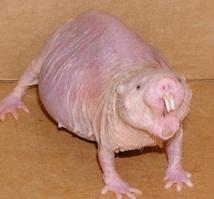 Les rats-taupes nus sont-ils notre espoir contre le vieillissement ?