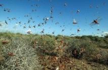 Des essaims de criquets pèlerins dans la zone frontalière avec la Mauritanie