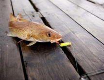 La douleur, une sensation inconnue des poissons