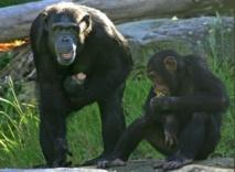 Les chimpanzés ont le sens de l'équité