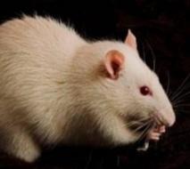 Des rats acquièrent un sixième sens grâce à un implant cérébral