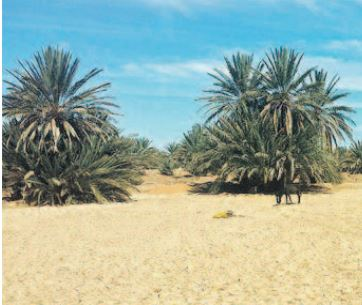 Des oasis en danger de disparition