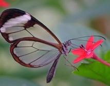 Découvrez le Greta Oto, l'incroyable papillon qui possède des ailes transparentes