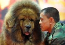 Mastiffs du Tibet, le nouveau chien de luxe chinois