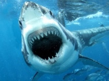 Le grand requin blanc mange beaucoup plus que ce que l'on pensait
