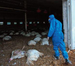 La Russie dit avoir détecté le premier cas de transmission à l'humain de la grippe aviaire H5N8