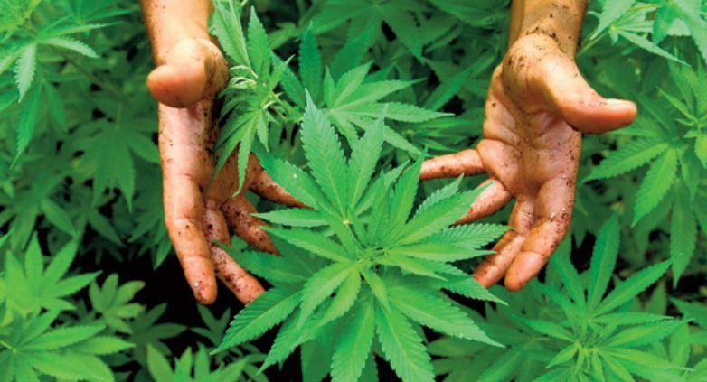 Le Conseil de gouvernement adopte le projet de loi légalisant l' usage thérapeutique du cannabis