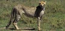 La dernière course du guépard