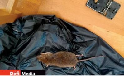 Dans Londres confinée, les rats dansent