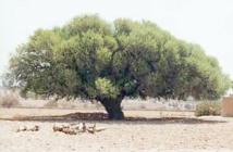 L'arganier au centre d'une rencontre à Essaouira