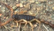 30.000 cas d'envenimations scorpioniques et ophidiennes par an au Maroc