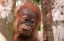 La forêt des orangs-outans en Indonésie menacée