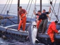 A la recherche du thon rouge de l'Atlantique
