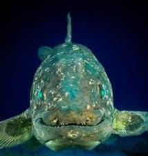 Un poisson vieux de 380 millions d'années dévoile une étonnante musculature