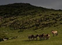 La Chine veut retrouver ses chevaux de Przewalski sauvages