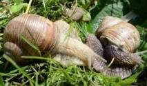 L'escargot de Pologne à la conquête des tables européennes