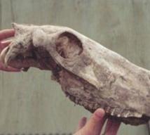 Des chercheurs décodent le génome d'un cheval vieux de 700.000 ans