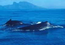 Les baleineaux de Patagonie en danger, le goéland dans le viseur