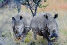 L'Afrique du Sud veut vendre les stocks de cornes de rhinocéros pour enrayer le braconnage