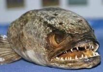 Le poisson à tête de serpent passe à la casserole