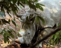 Inquiétude pour des rhinocéros d'Afrique introduits en Chine
