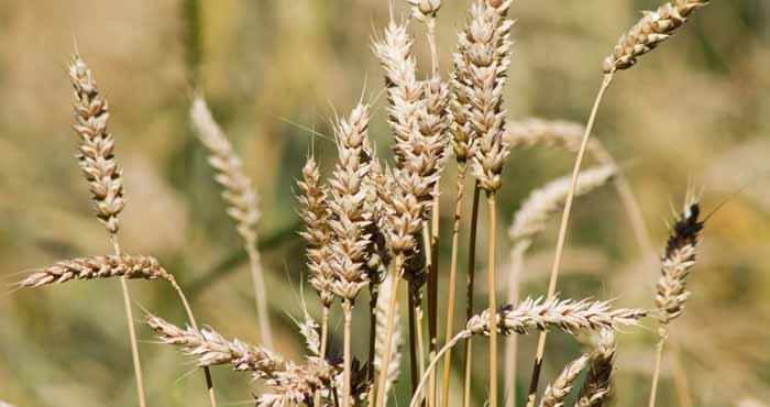 Les marchés mondiaux des céréales s'orientent vers une production record