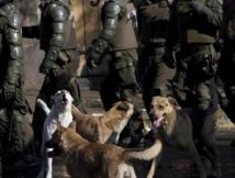 Au Chili, les chiens errants manifestent aussi