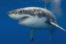 Le grand requin blanc fait le plein de lipides avant de voyager