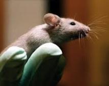 Maladies mentales: les tests menés sur des animaux souvent biaisés