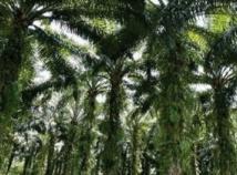 Séquençage du génome du palmier à huile