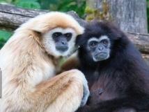 Les primates ont choisi la monogamie pour éviter les infanticides