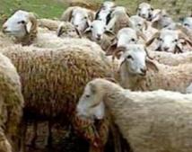 Le procès des voleurs de bovins fixé au 25 septembre  prochain à Oued-Zem