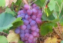 Le vignoble à l'honneur dans la province de Sidi Bennour
