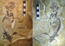 Un fossile de 160 millions d'années explique l'avènement des mammifères