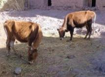L'étau se resserre autour des voleurs de bovins de la région d'Oued Zem