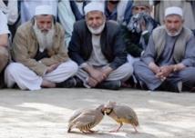 A Kaboul au petit matin, la fièvre des combats de perdrix