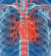 Un cœur de souris ressuscité par des cellules de peau humaines