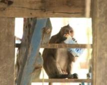 Insolite : Un village pillé par des macaques