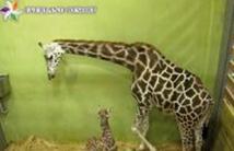 Une girafe établit un nouveau record dans un zoo en Corée