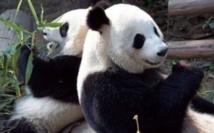 Quand un couple de Pandas sème la discorde politique en Belgique