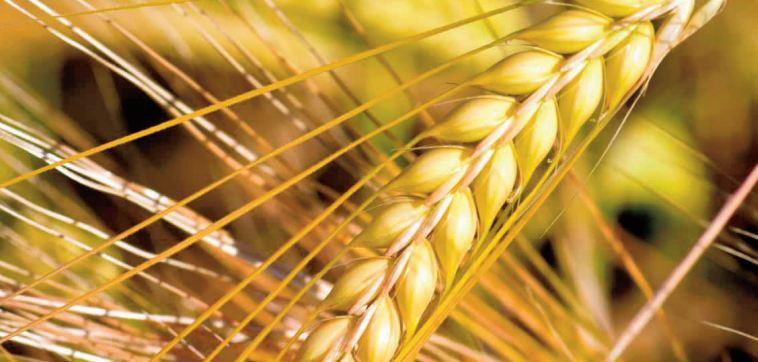 Les prévisions concernant la production et les stocks mondiaux de céréales revues à la baisse