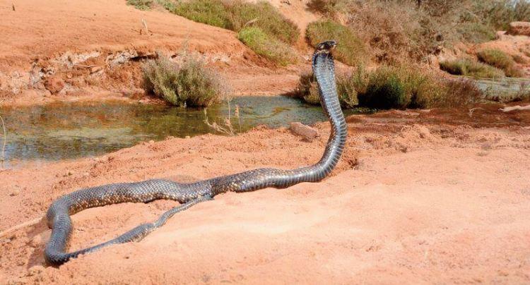 La prise en charge des morsures de serpent subit l'impact du Covid