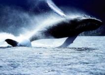 Les secrets de vie des baleines dévoilés grâce à leurs 'bouchons d'oreilles'