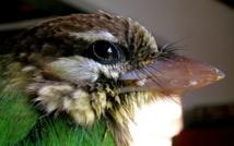Comment les oiseaux ont obtenu leurs ailes