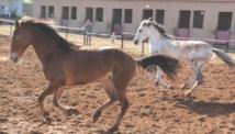 L'élevage des chevaux, pilier de la stratégie équine nationale