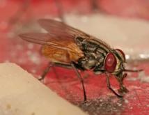 La mouche femelle préfère s'accoupler avec un seul mâle... ou son frère